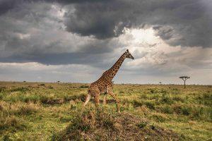 Kenya2016-Giraffe